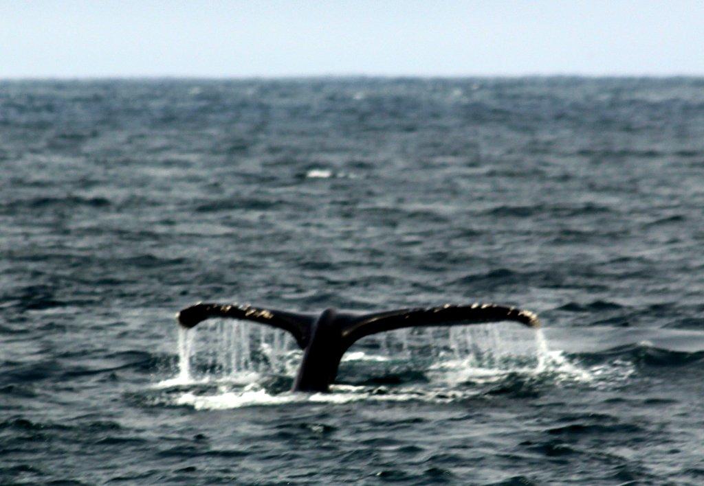 Blåhvaler er pænt store