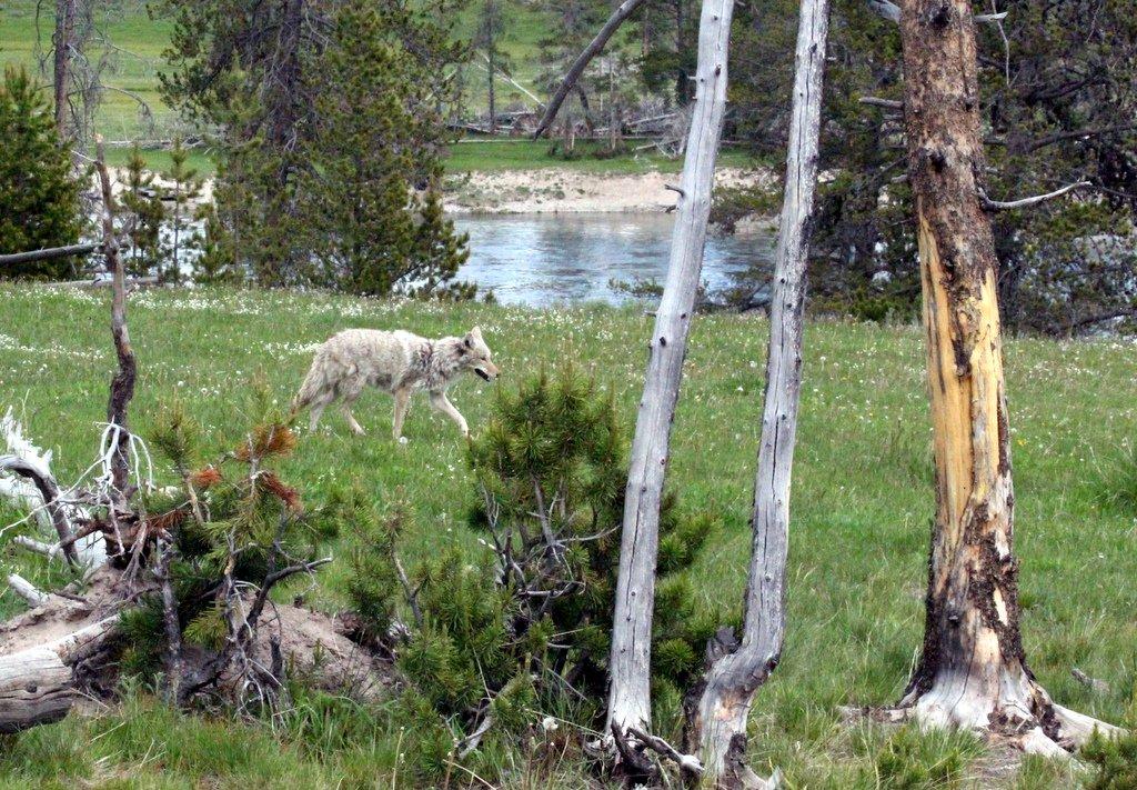 Yellowstone, nu med store billeder